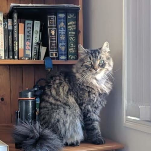 Tiger - Maine Coon Cat