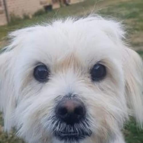 Gus 😍 - Shih Tzu Dog