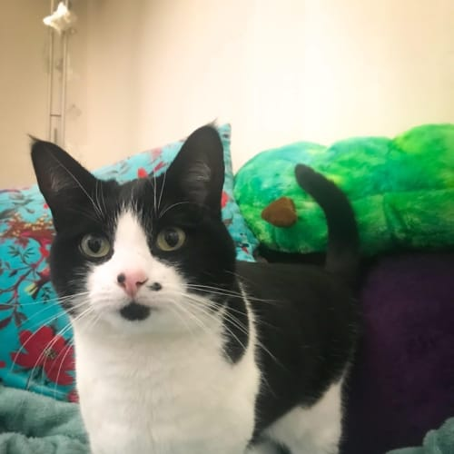 Clementine - Located in Windsor - Domestic Short Hair Cat