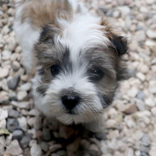 Drew - Poodle x Maltese Dog