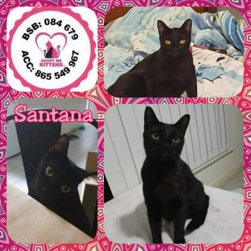 Santana - Domestic Short Hair Cat