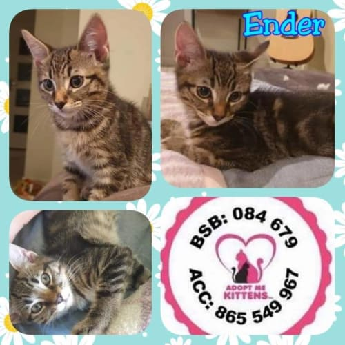 Ender - Domestic Short Hair Cat