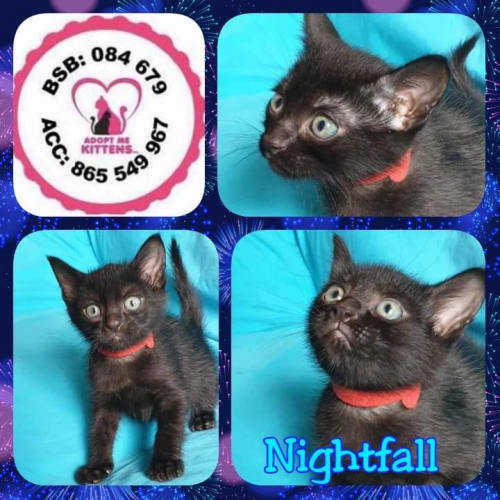 Nightfall - Domestic Short Hair Cat
