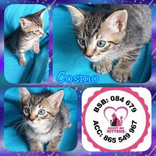 Cosmo - Domestic Short Hair Cat