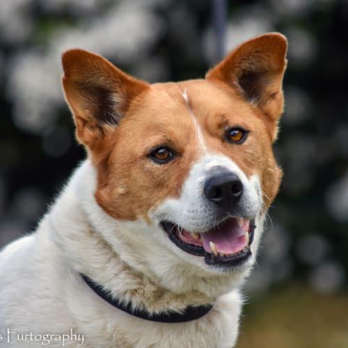 Benny DL2223 - Kelpie Dog
