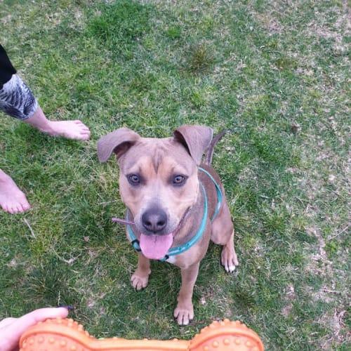 Cardi - American Staffordshire Terrier Dog