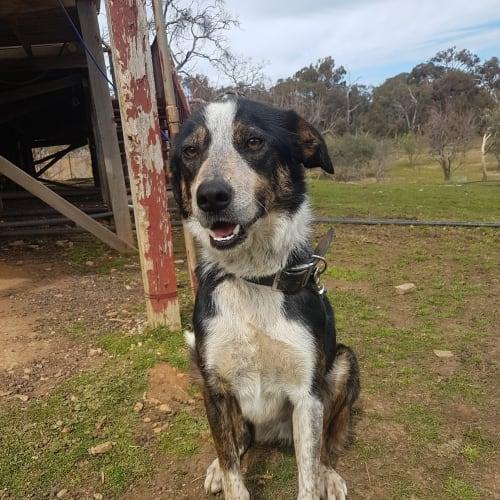 Buddy - Border Collie Dog