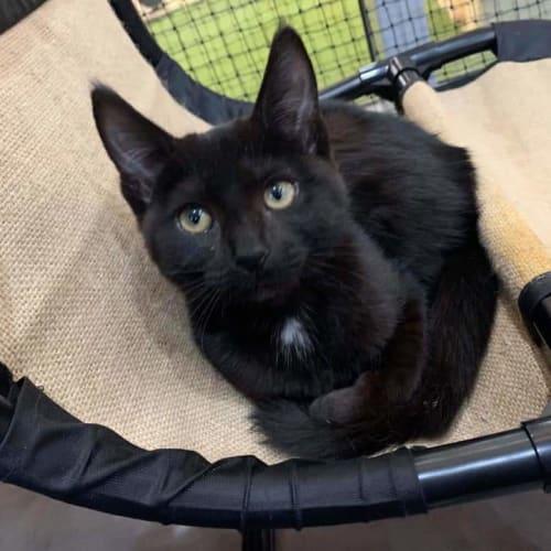 Sultana - Domestic Short Hair Cat