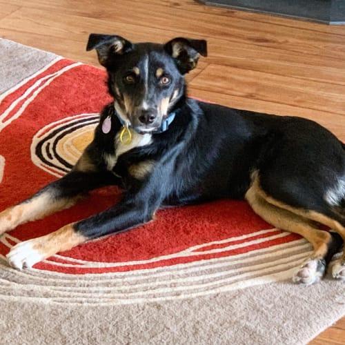 Ricky - Kelpie x Border Collie Dog