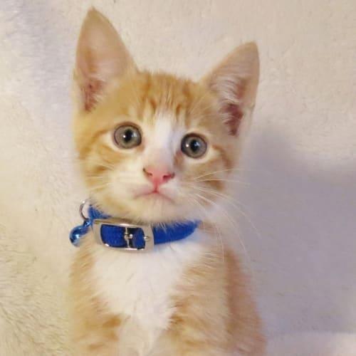 Echo - Domestic Short Hair Cat