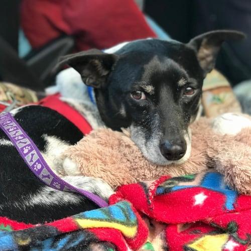 Joey - Dachshund x Fox Terrier Dog