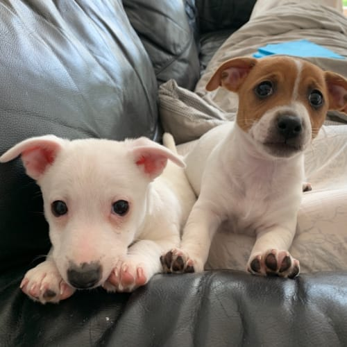 Timmy and Trudie bonded pair male and female - Jack Russell Terrier Dog