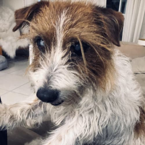 Jade - Jack Russell Terrier x Fox Terrier Dog
