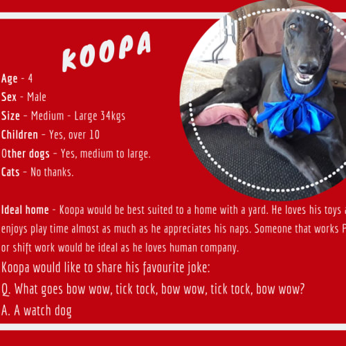 Koopa - Greyhound Dog