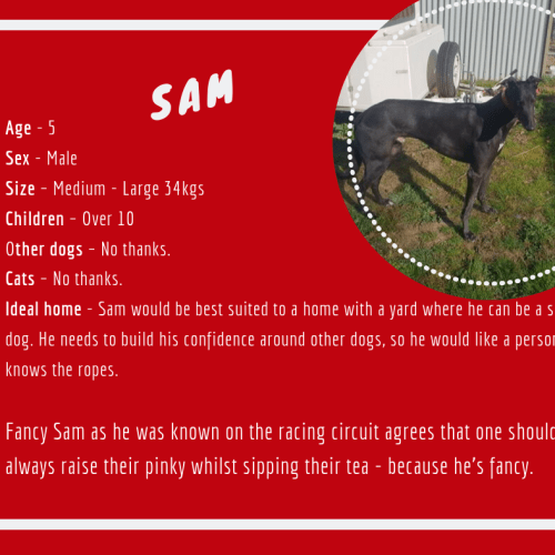 Sam - Greyhound Dog