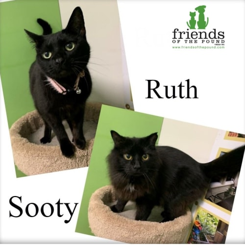 Ruth and Sooty - Domestic Short Hair Cat