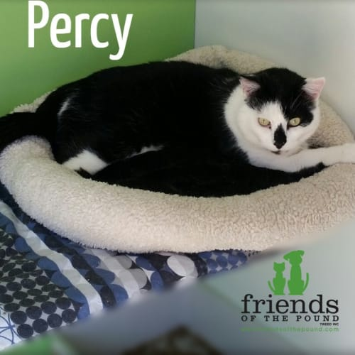 Percy - Domestic Short Hair Cat