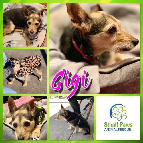 Gigi - Australian terrier Dog