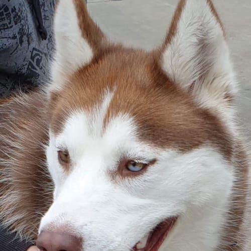 Donna & Floyd - Siberian Husky Dog