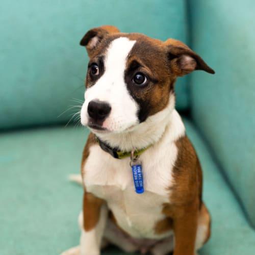 Lucy ~ Staffy puppy ~ sweet girl - Staffy Dog