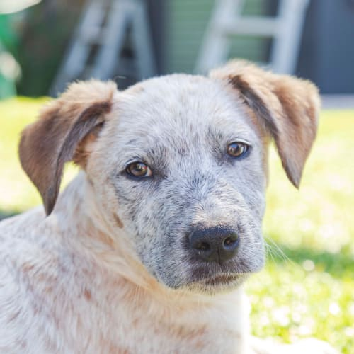 Billy ~ 14 wk Cattle dog pup - Cattle Dog