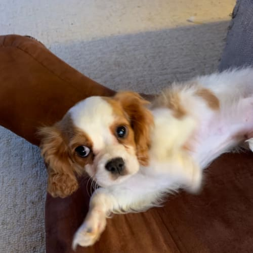 Cleveland  - Cavalier King Charles Spaniel Dog