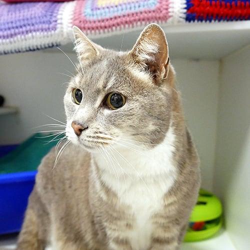 Tinsel SUA004261 - Domestic Short Hair Cat