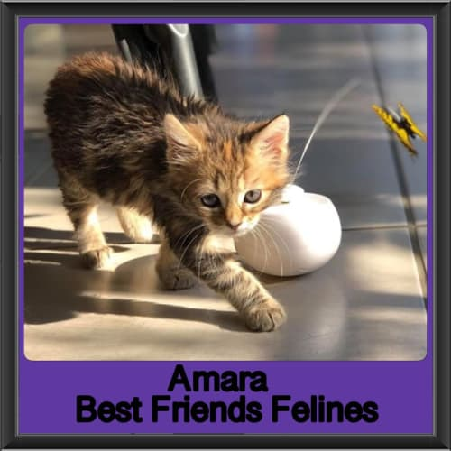 Amara  - Domestic Medium Hair Cat