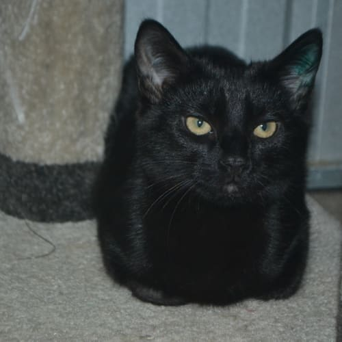 Pocky - Domestic Short Hair Cat