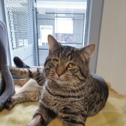 Chippy - Domestic Short Hair Cat