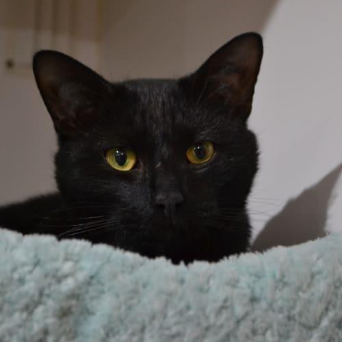 Salem - Domestic Short Hair Cat