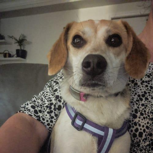 Chichi - Jack Russell Terrier x Spitz x Beagle Dog