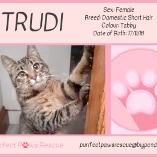 Trudi - Domestic Short Hair Cat