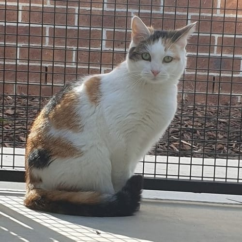 Steph - Domestic Short Hair Cat