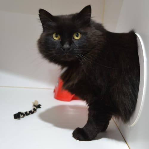 Lestat - Domestic Medium Hair Cat
