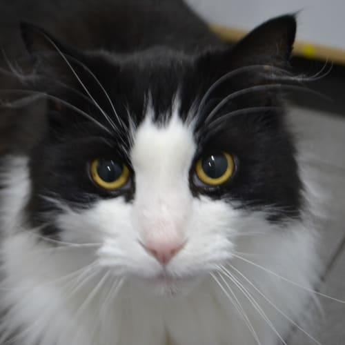 Joey - Domestic Long Hair Cat