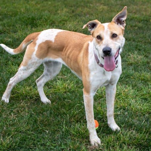 Ripley - Bull Arab Dog