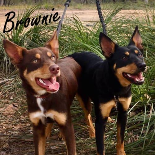 Brownie & Max - Kelpie Dog