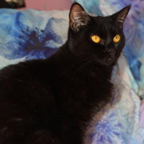 Damora - Domestic Short Hair Cat