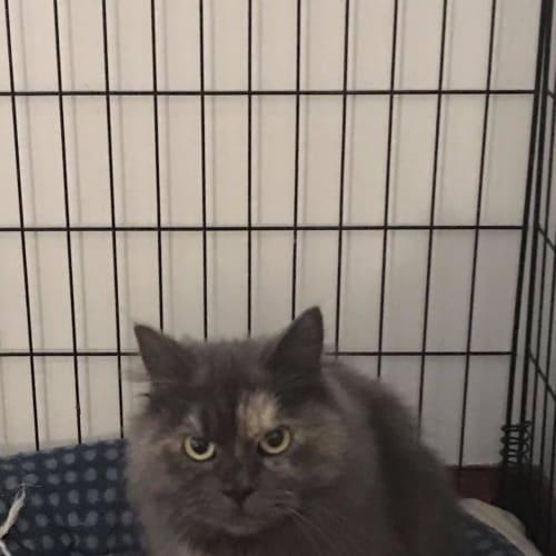 Chi chi  - Persian x Domestic Long Hair Cat