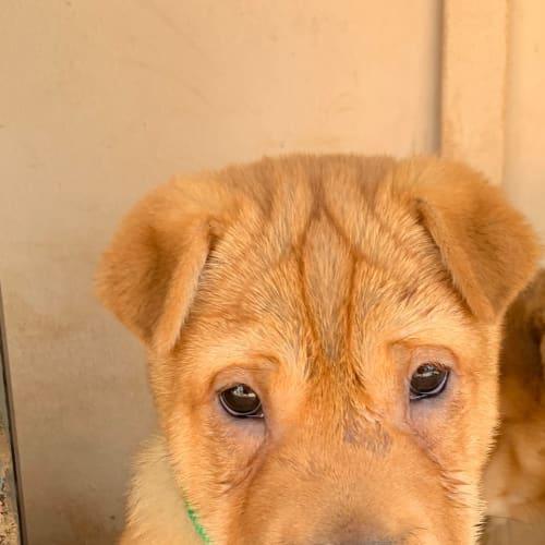 Billy - Shar-Pei Dog