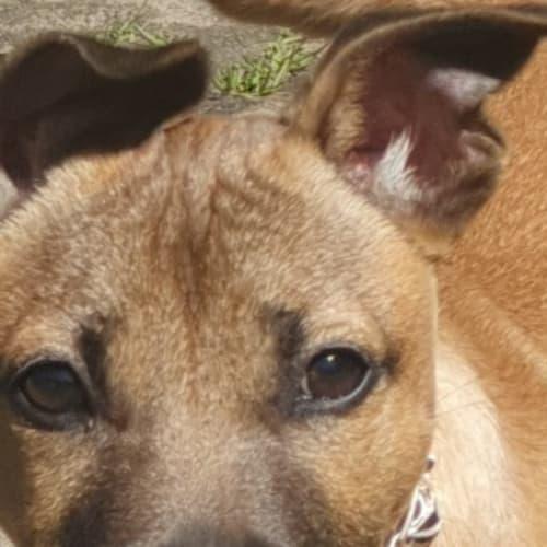 Lilly  - Staffy Dog