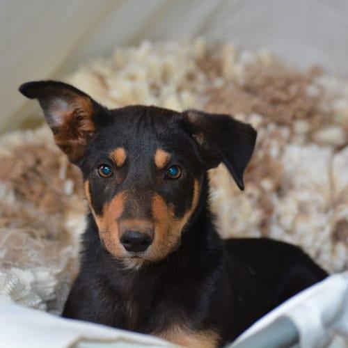 Stanley - Kelpie Dog