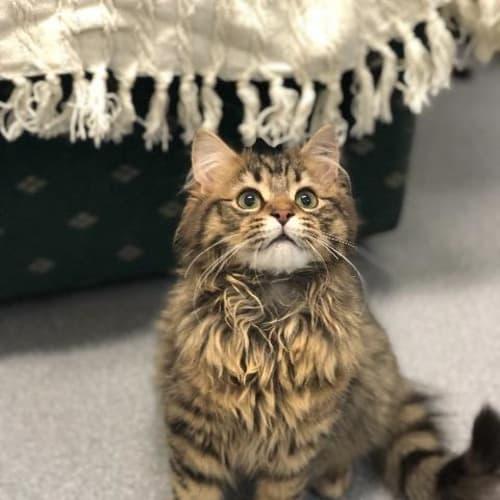 Mooshie - Domestic Medium Hair Cat