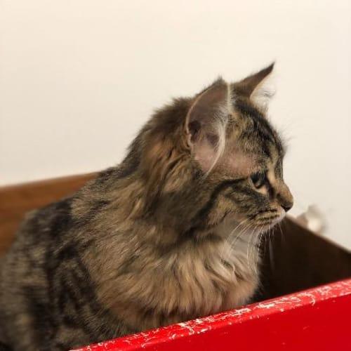Muchu - Domestic Medium Hair Cat