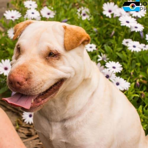 Narla - Shar-Pei Dog