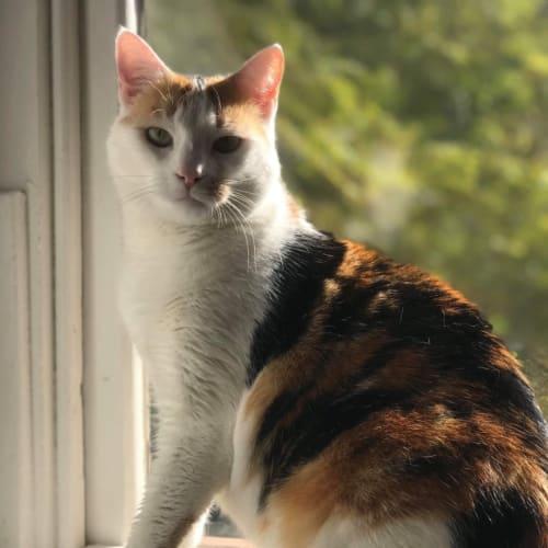Elena - Domestic Short Hair Cat