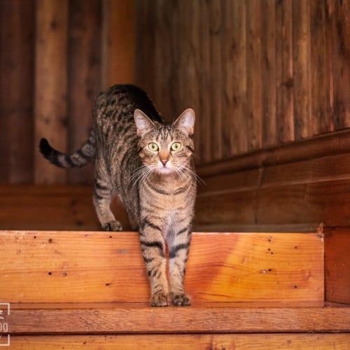 Ventura - Domestic Short Hair Cat