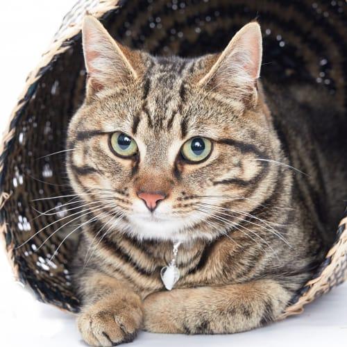 Dishy - Domestic Short Hair Cat