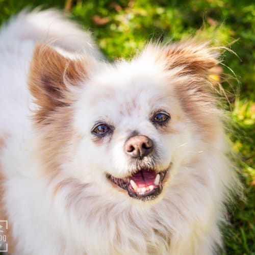 Casper Chesterton - Pomeranian x Tibetan Spaniel Dog